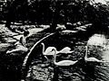 Corinne Griffith & Swans 1919.jpg