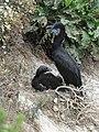 Cormorant nest (34341037553).jpg
