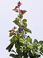 Corn Bunting Emberiza calandra, Primorsko, Burgas, Bulgaria (14156608077).jpg