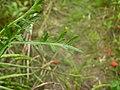 Coronopus squamatus leaf (02).jpg