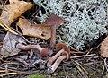 Cortinarius cicindela Kytöv., Niskanen & Liimat 716534 crop.jpg