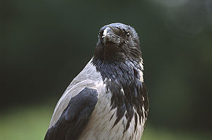 300px-Corvus_corone_cornix_(Marek_Szczep