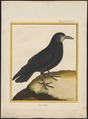 Corvus frugilegus - 1700-1880 - Print - Iconographia Zoologica - Special Collections University of Amsterdam - UBA01 IZ15700235.tif
