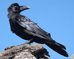 Corvus macrorhynchos (looking back).JPG