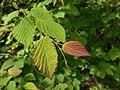 Corylopsis pauciflora 2017-06-25 2992.jpg