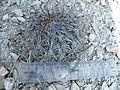 Coryphantha cornifera (5780166921).jpg