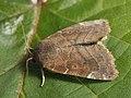 Cosmia affinis - Lesser-spotted pinion - Вязовая совка тёмная (26249729867).jpg