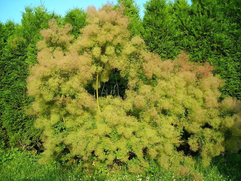 aspect général ou houppier de l'arbres aux perruques
