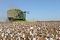 Cotton harvest on the South Plains near Lubbock, Texas. A cotton stripper is pulling the cotton bolls and leaves off the cottons stalk. (24749605389).jpg