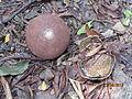 Couroupita guianensis m6d (10).JPG