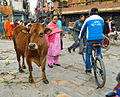 Cow looking for food in the market (12653499773).jpg