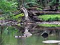 Crabtree Creek Mill Trail Umstead SP 3325 (5894431716) (2).jpg