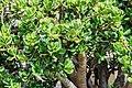 Crassula ovata in Botanischer Garten Muenster (3).jpg