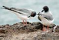 Creagrus furcatus -Galapagos Islands -two-8.jpg