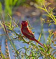 Crimson Finch.Male.3.jpg