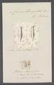 Criseis strangulata - - Print - Iconographia Zoologica - Special Collections University of Amsterdam - UBAINV0274 080 07 0021.tif