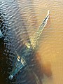 Crocodylus acutus Caye Caulker 05.jpg