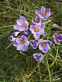Crocus minimus clump 02.JPG