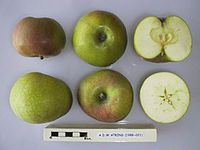 Cross section of A.D.W. Atkins, National Fruit Collection (acc. 1988-021).jpg
