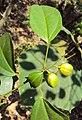 Croton tiglium 03.JPG