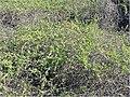 Cryptocarpus pyriformis 0zz.jpg