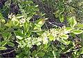 Cryptocarpus pyriformis 3zz.jpg