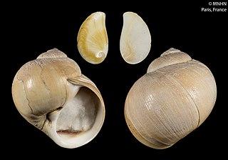 <i>Cryptonatica</i> Genus of gastropods
