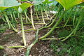 Cucurbita maxima vine and leaves.JPG
