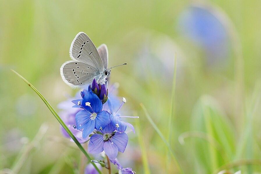 Butterfly butterflies lepidoptera rhopalocera on flower Veronica