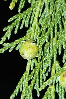 Blätter und unreifer Zapfen der Nootka-Scheinzypresse (Xanthocyparis nootkatensis)
