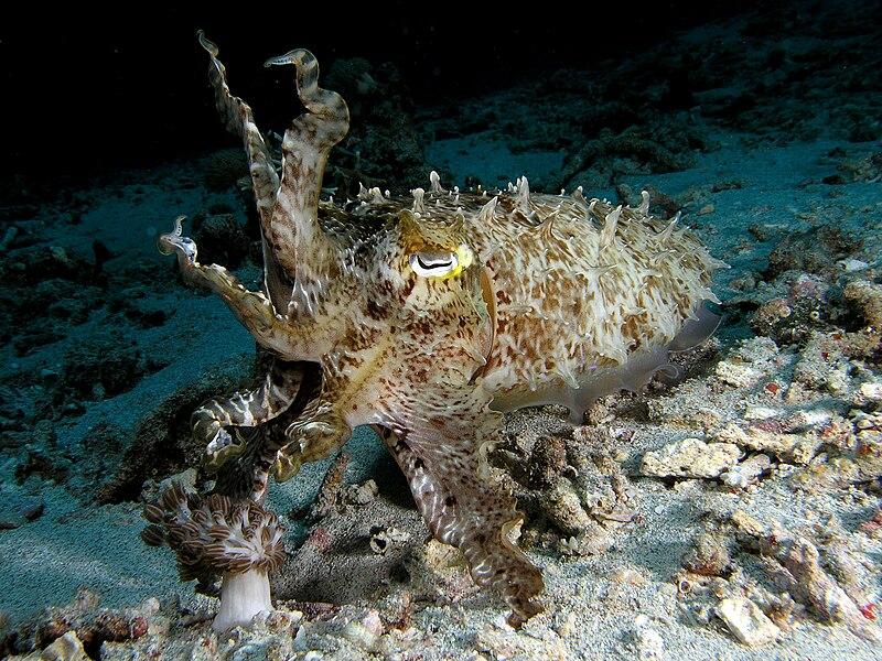 File:Cuttlefish komodo.jpg