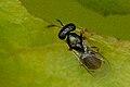 Cyclogastrella.simplex2.-.lindsey.jpg