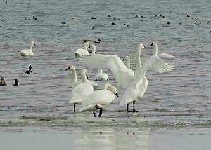 Trumpeter Swans at Lake Erie, Michigan, USA.