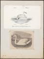 Cygnus cygnus - 1700-1880 - Print - Iconographia Zoologica - Special Collections University of Amsterdam - UBA01 IZ17600233.tif