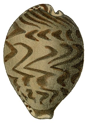 Cypraea tigris - As is the case in most cowries, the subadult shell of Cypraea tigris has a different color pattern. The apex of the shell is a barely visible tubercule at the top right of the shell image