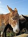 Cypriot Donkeys (32101730220).jpg