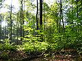 Dübener Heide beeches2.JPG