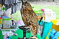 D85 1809Siberian Eagle Owl Photographed by Trisorn Triboon.jpg