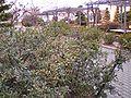 DNUE Pyracantha angustifolia winter.jpg