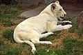 DSC00648 - Rare White Lion (7693596928).jpg