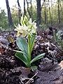 Dactylorhiza sambucina sl32.jpg