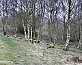 Daffodils at Hanging Bank - geograph.org.uk - 1213978.jpg