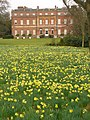 Daffodils in Clandon Park - geograph.org.uk - 1772995.jpg