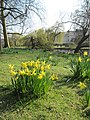 Daffodils in Regents park - panoramio.jpg