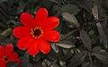 Dahlia 'Mystic Enchantment' in Minter Gardens, Chillwack.jpg