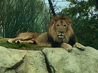 Dallas Zoo - Dallas Zoo's African lion