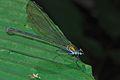 Damselfly (Vestalis amoena) (8097496470).jpg