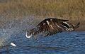 Dan Pancamo Osprey1.jpg