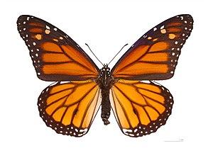 Butterflies of New Zealand - Monarch