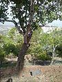 Daniel Trocme tree.jpg